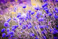 Beautiful cornflowers meadow close up. Beautiful blue cornflowers meadow in the summer time on a sunny day Stock Photos