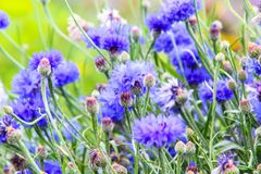 Beautiful cornflowers meadow close up. Beautiful blue cornflowers meadow in the summer time on a sunny day Royalty Free Stock Images