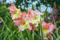 Beautiful corrugated gladioli. On the bed Royalty Free Stock Photography