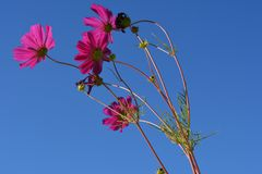 Beautiful cosmea flowers on the background of clear blue sky. Bright summer scene stock image
