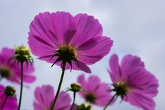 Cosmo and a bee. Beautiful cosmo flowers at Dalat, Vietnam Stock Image
