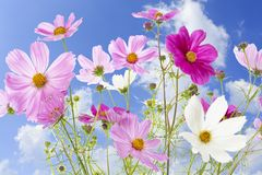 Beautiful Cosmos bipinnatus flowers Stock Image