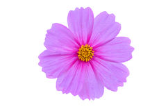 Beautiful Cosmos flower Stock Photos