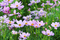 Beautiful cosmos flower blossom in the garden. Beautiful cosmos flower blossom in the garden with green leafy background Royalty Free Stock Photos