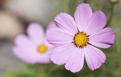 Beautiful cosmos flower Royalty Free Stock Images
