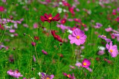 A beautiful cosmos flower field. Cosmos flower field in the farm Royalty Free Stock Photos