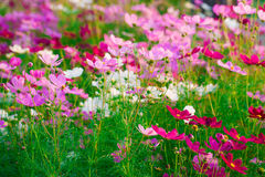 Beautiful Cosmos flower  field Stock Photos
