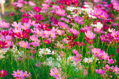 Beautiful Cosmos flower  field Royalty Free Stock Photography