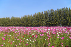 Beautiful cosmos flower in field Stock Images