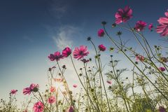 The beautiful cosmos flower in full bloom with sunlight. Royalty Free Stock Images
