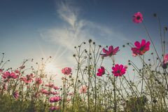 The beautiful cosmos flower in full bloom with sunlight. Royalty Free Stock Photography