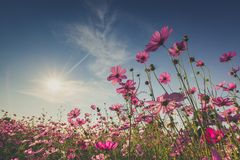 The beautiful cosmos flower in full bloom with sunlight. Royalty Free Stock Photo