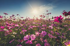 The beautiful cosmos flower in full bloom with sunlight. Stock Image