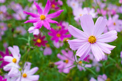 Beautiful Cosmos Flower Royalty Free Stock Image