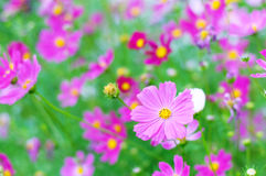 Beautiful Cosmos flower on meadow. Beautiful Cosmos flower in field Royalty Free Stock Photos