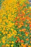Beautiful Cosmos Flower Royalty Free Stock Image