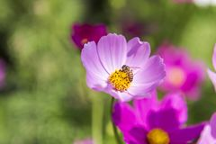 Beautiful cosmos flower over blurred green garden background. Bee with colorful flower, nature concept background, outdoor day light Stock Photo