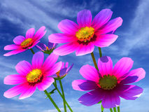 Beautiful Cosmos Flowers Stock Images