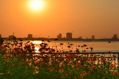 A beautiful cosmos flowers bed and lake views. Stock Photography