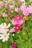 Beautiful cosmos flowers blooming Stock Photography