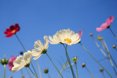 Beautiful cosmos flowers and Blue sky Royalty Free Stock Photo