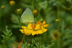 A beautiful cosmos flowers and butterfly. Royalty Free Stock Photography