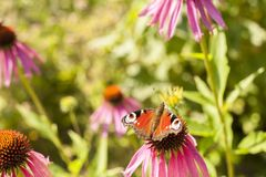 Beautiful cosmos flowers and butterfly in the summer meadow royalty free stock photography