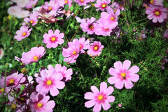 Beautiful cosmos flowers Royalty Free Stock Photos