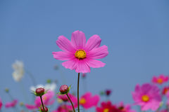 Beautiful cosmos flowers Royalty Free Stock Image
