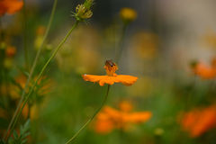 A beautiful cosmos flowers field with bee worker. Royalty Free Stock Photo