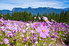 Beautiful Cosmos Royalty Free Stock Image