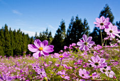 Beautiful Cosmos Royalty Free Stock Photography