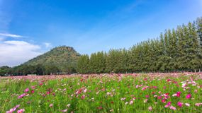 Beautiful Cosmos flowers field and tree with mountain and sky stock photos