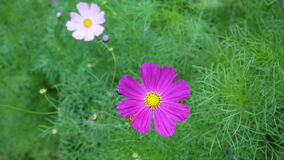 Beautiful cosmos flowers on the flowerbed. Beautiful pink cosmos flowers on the flowerbed. HD video footage static camera stock video