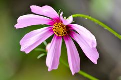 Cosmos flowers on green background Royalty Free Stock Photos