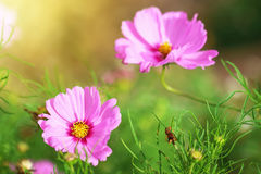 beautiful cosmos flowers on green blur background Stock Images