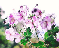Beautiful Cosmos flowers Stock Photo