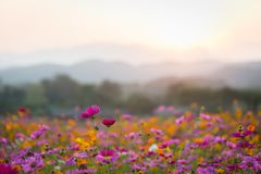 Beautiful cosmos flowers in sunset time. View of beautiful cosmos flowers in sunset time stock photos