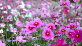 Beautiful cosmos flowers stock footage