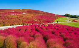 Beautiful Cosmoses field and kochias hill in autumn Stock Images