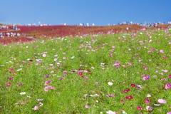 Beautiful Cosmoses field and kochias hill Stock Image
