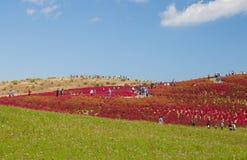 Beautiful Cosmoses field and kochias hill Stock Photo