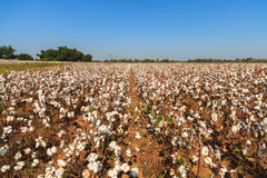 Cotton field. Beautiful cotton field in Alabama Royalty Free Stock Photography