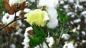 Yellow cotton flower stock image