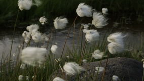 Beautiful cotton grass by the brook Spokoiny stock footage video stock footage