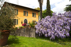 Beautiful country house in Tuscany with big plant of wisteria Royalty Free Stock Photos