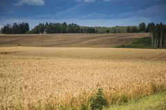 A beautiful country landscape with a wheat fields stretching into distance. Inspiring rural scenery at the end of summer stock photos