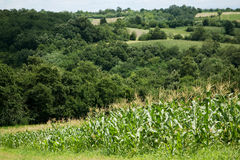 Beautiful countryside. Rolling hills, cornfield and trees Royalty Free Stock Photo