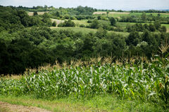 Beautiful countryside. Rolling hills, cornfield and trees Royalty Free Stock Image