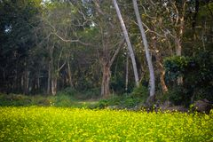 Beautiful countryside rural summer landscape with blooming rapeseed field and surrounded with trees green on sunset. Canola at. Spring time in india village stock photography